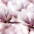 Pink Magnolia by Elena Elisseeva