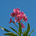 Pink Oleander Flower In Spring by Allan  Hughes