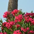Pink Oleander by Tamra Lockard