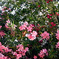 Pink Oleanders by Stephanie Moore