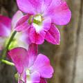 Pink Orchid Duo by Deborah Benoit