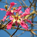 Pink Orchid Tree by Carla Parris