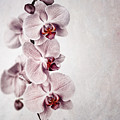 Pink Orchid Vintage by Jane Rix