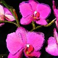 Pink Orchids by Dennis Lundell