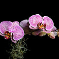 Pink Orchids by Gary Dean Mercer Clark