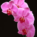 Pink Orchids by Juergen Roth