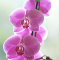 Pink Orchids by Kicka Witte - Printscapes