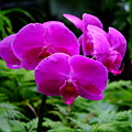 Pink Orchids by Mini Arora