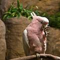 Pink Parrot Nibbling Foot 2 by Douglas Barnett