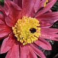 Pink Pasque Flower by Carol Groenen