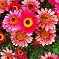 Pink Patterned Mums by Caroline  Urbania Naeem