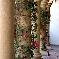 Pink Peacock Colored Bougainvillea Blossoms Climbing Pillars Photograph By Colleen by Colleen Cornelius