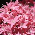 Pink Pentas Beauties by Carol Groenen