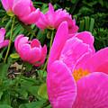 Pink Peonies by Belinda Stucki