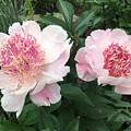 Pink Peonies by Jeannie Rhode