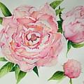 Pink Peonies by Jill May