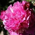 Pink Peonies by Lori Mahaffey