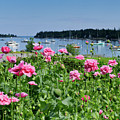 Pink Peonies, Tenants Harbor, Maine #30721 by John Bald