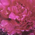 Pink Peony Blossom by Di Kerpan