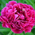 Pink Peony by Deanna Cagle