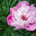Pink Peony by Laurel Best
