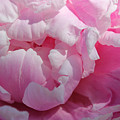 Pink Peony by Lynne Guimond Sabean
