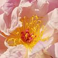 Pink Peony by Rudi Prott