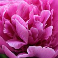 Pink Peony Watercolor by Carolyn Jacob