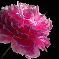 Pink Peony On A Black Background by Yuri Hope