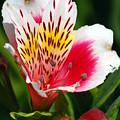 Pink Peruvian Lily 1 by Amy Fose