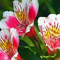 Pink Peruvian Lily 2 by Amy Fose