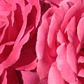 Pink Petals by Carol Groenen