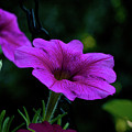 Pink Petunia, Dusk, Hunter Hill, Hagerstown, Maryland, July 25,  by James Oppenheim