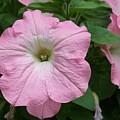 Pink Petunia by Ellen B Pate