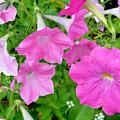 Pink Petunia Flower 11 by Jeelan Clark