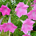 Pink Petunia Flower 9 by Jeelan Clark