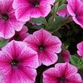 Pink Petunia by Gene Ritchhart