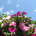 Pink Petunias In The Sky by Ausra Huntington nee Paulauskaite