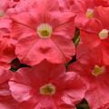 Pink Petunias  by Sheli Kesteloot