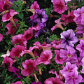 Pink Petunias by Stacy Gold