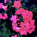 Pink Phlox by Raechel Genco