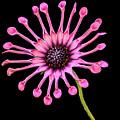 Pink Pinwheel by Jean Noren