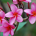Pink Plumeria 2 by Ronald Hilbig