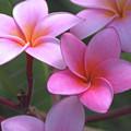 Pink Plumeria by Brian Harig