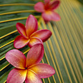 Pink Plumeria by Dana Edmunds - Printscapes