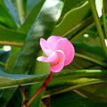 Pink Plumeria In Bloom by Camryn Zee Photography