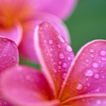 Pink Plumeria by Ron Dahlquist - Printscapes