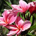 Pink Plumeria by Teresa Zieba