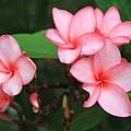 Pink Plumerias by Edward R Wisell