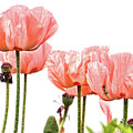 Pink Poppies On White by Peggy Collins